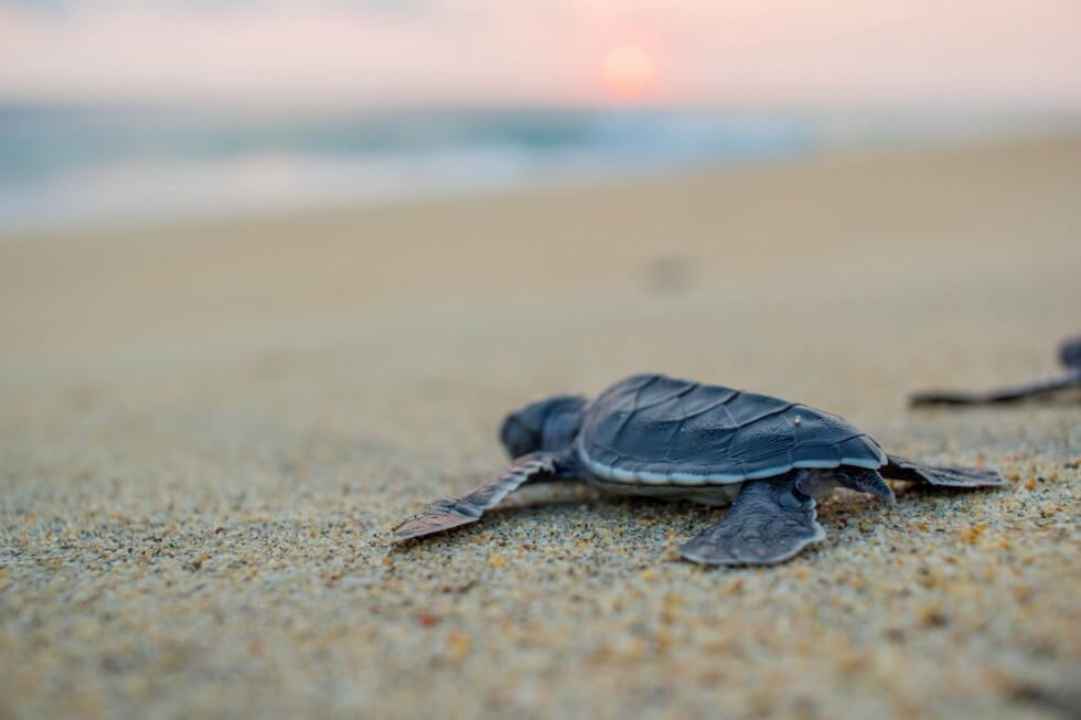 Baby Sea Turtle Headed To The Ocean At Sunset
